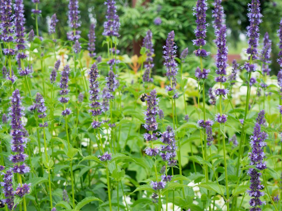 lavender field flower farm outdoors garden nature plant landscape green leaf