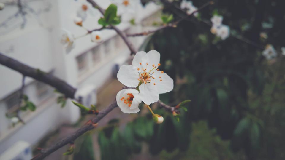 flower, white, petal, bloom, garden, plant, nature, autumn, fall
