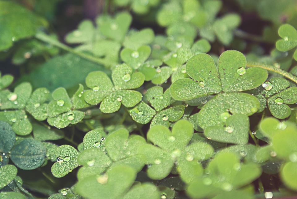 緑のクローバー4つの葉のクローバー自然の植物
