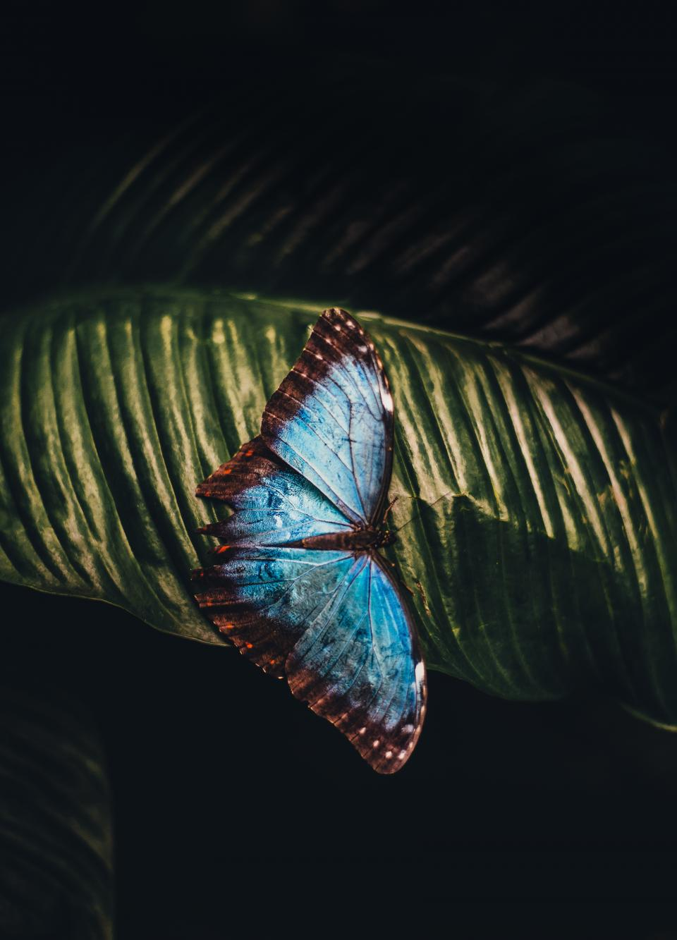 butterfly, leaf, animal, insect, blue, beautiful, nature, outdoor, wings, spread