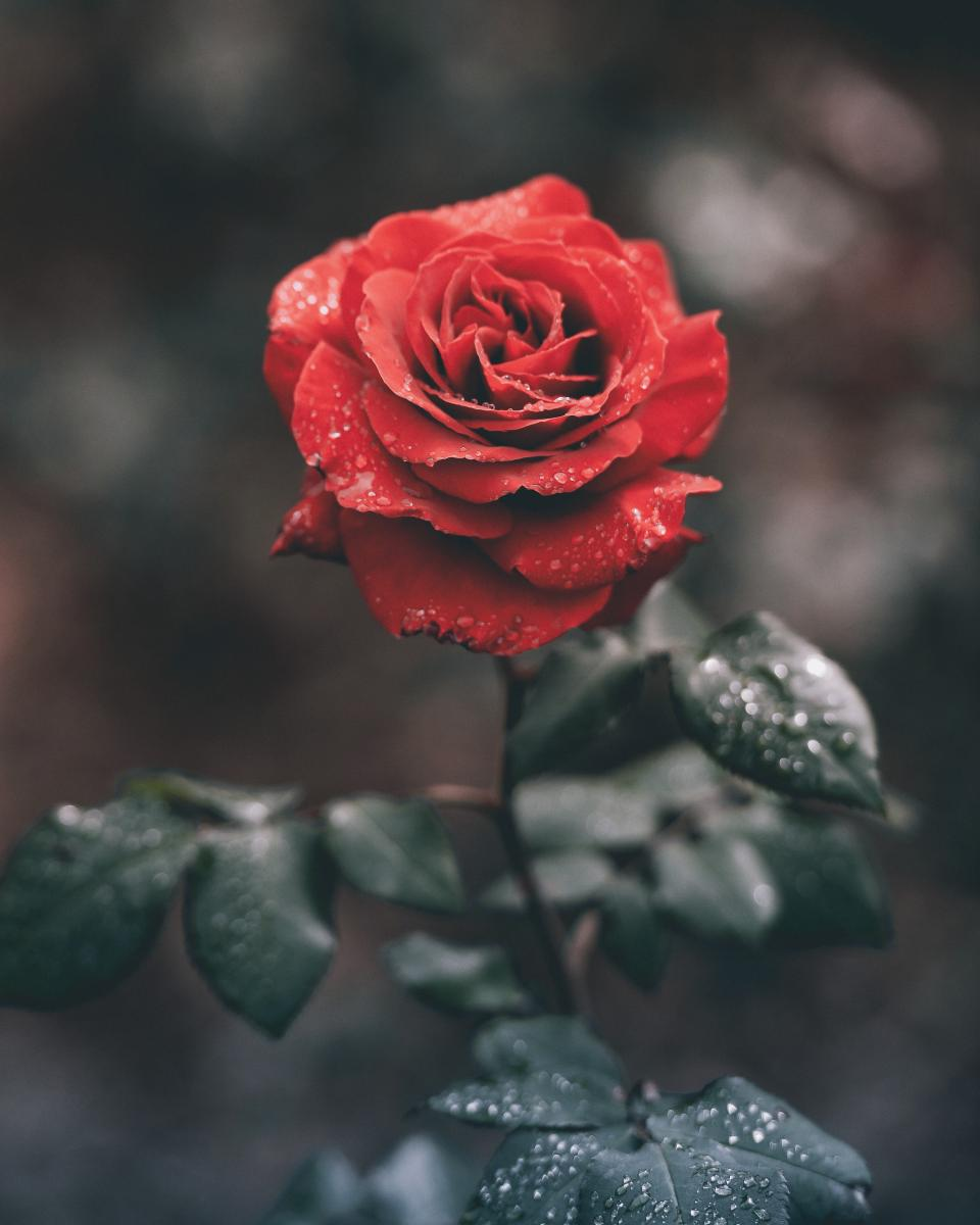 red, roses, flower, green, leaf, plant, water, wet, rain, drops, garden