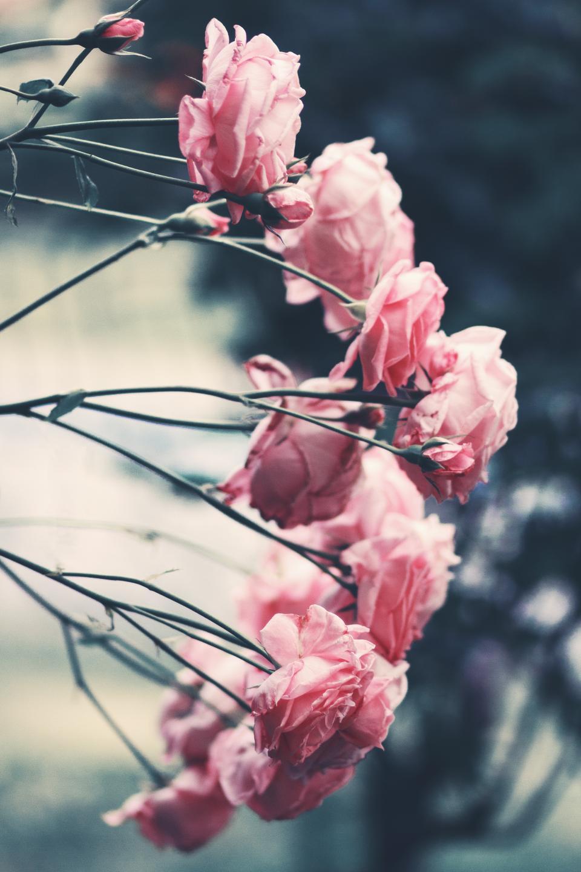pink, roses, garden, flower, nature, blur