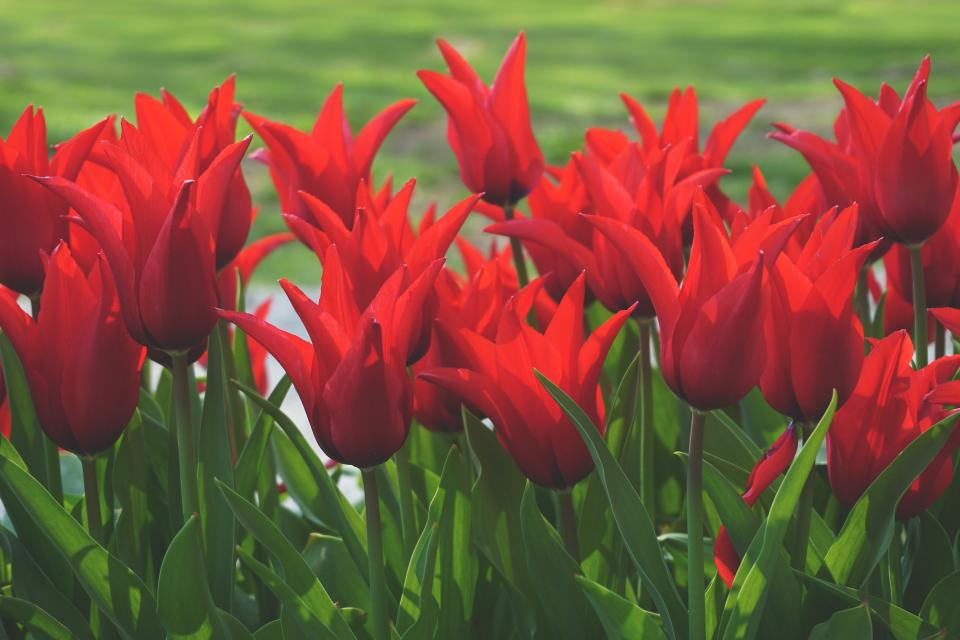 red, petals, tulip, green, leaf, plants, nature, farm, field, garden, outdoor
