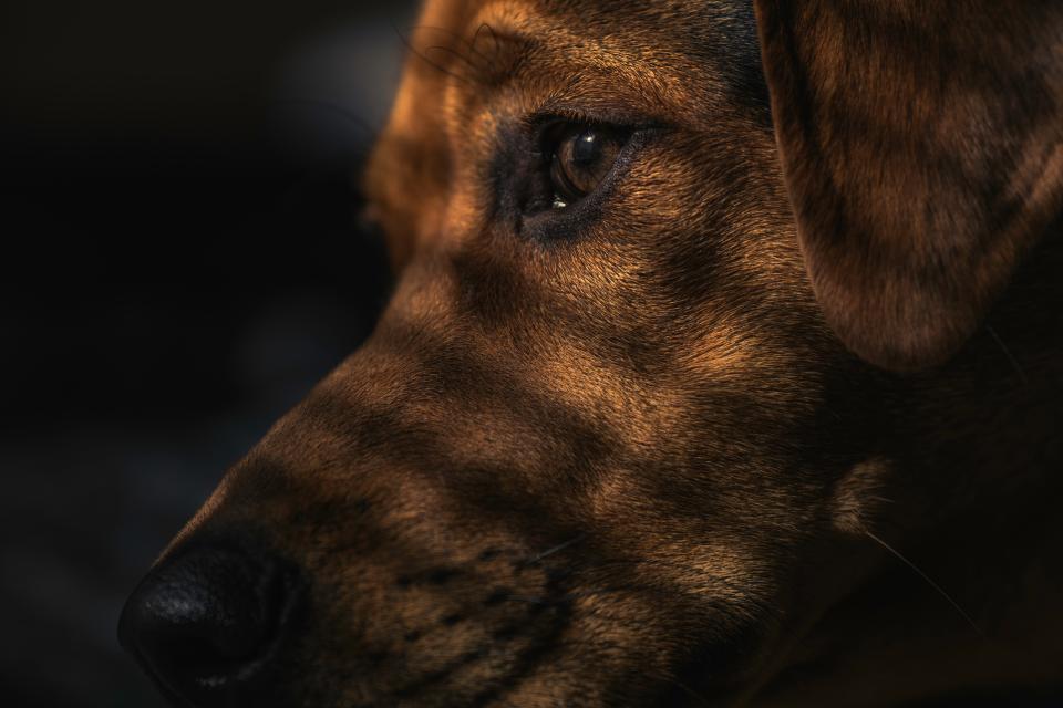dog, brown, puppy, animal, pet