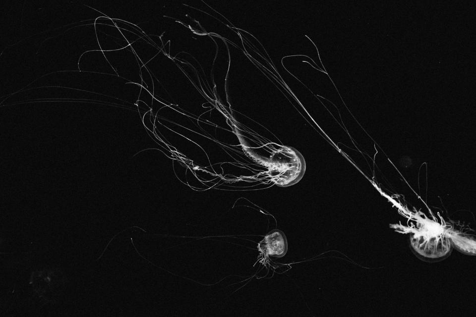 animals, marine, life, jellyfish, float, swim, tentacles, macro, underwater, photography, black and white