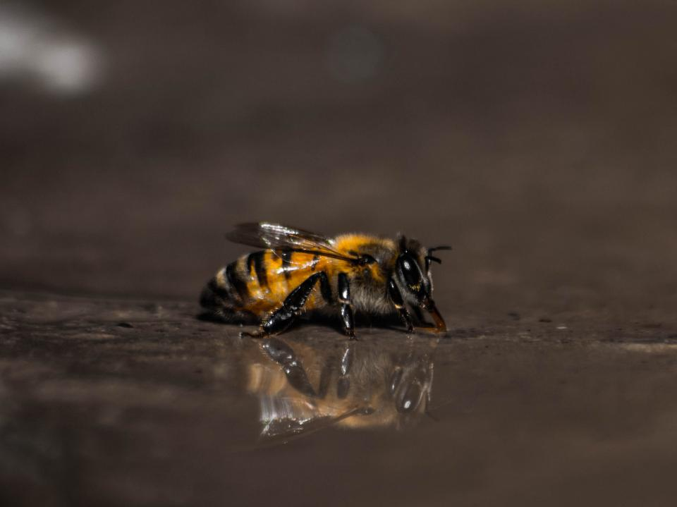 bee, insect, animal, water, reflection