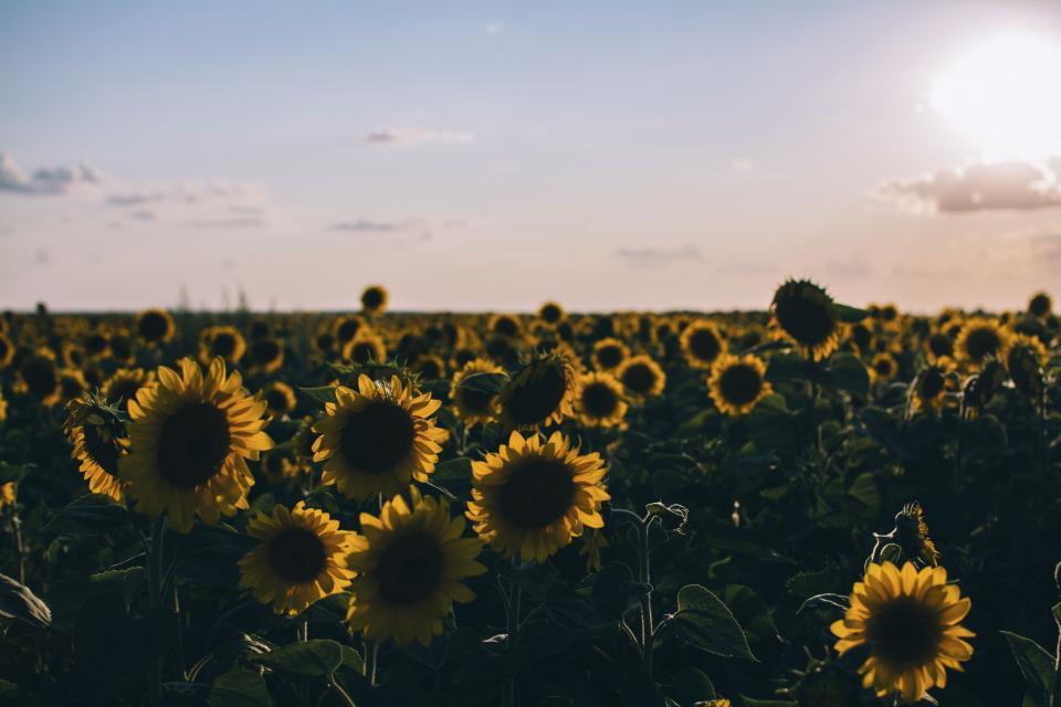 flower, yellow, petal, bloom, garden, plant, nature, autumn, fall, sunflower, clouds, sky
