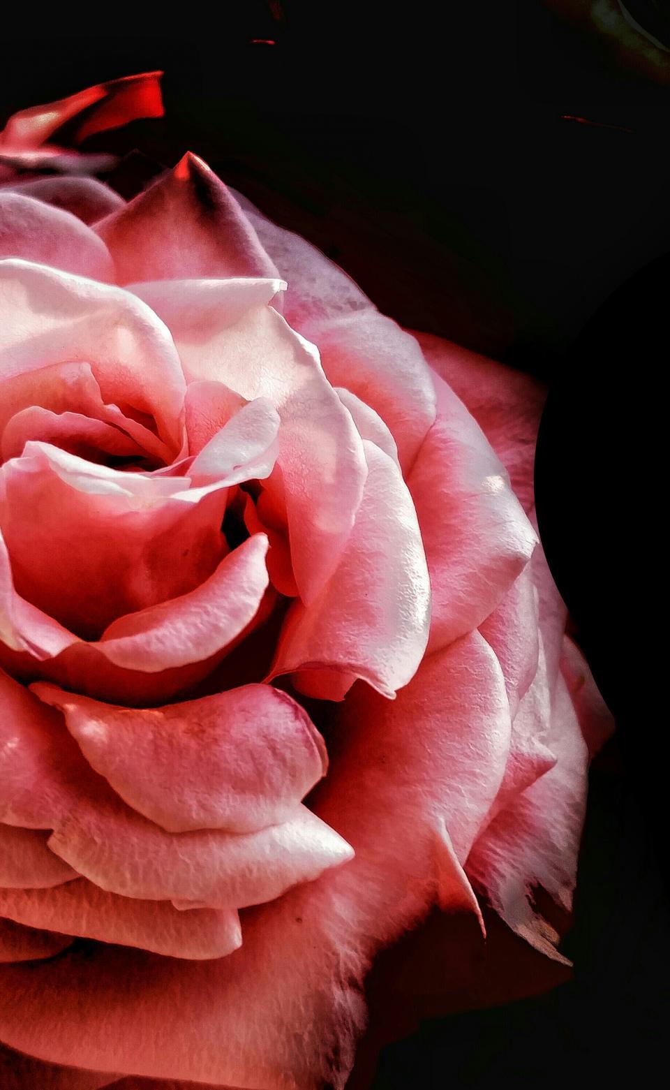 pink, flower, bloom, petal, roses, plant, nature, dark
