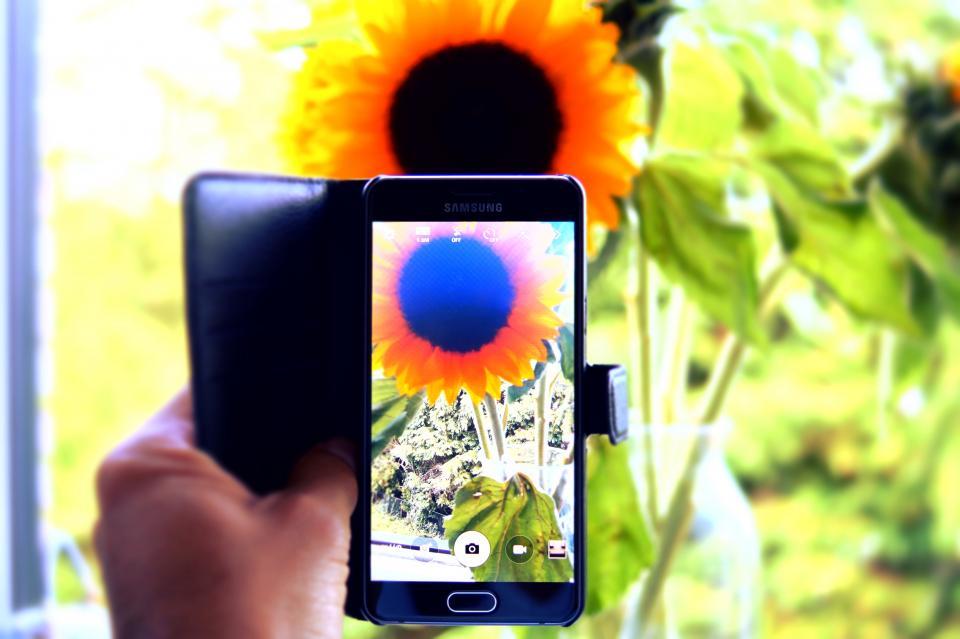 hand, capture, camera, phone, sunflower, nature, photography, leaves, nature, plant, summer, sunny, sunlight, sunrise