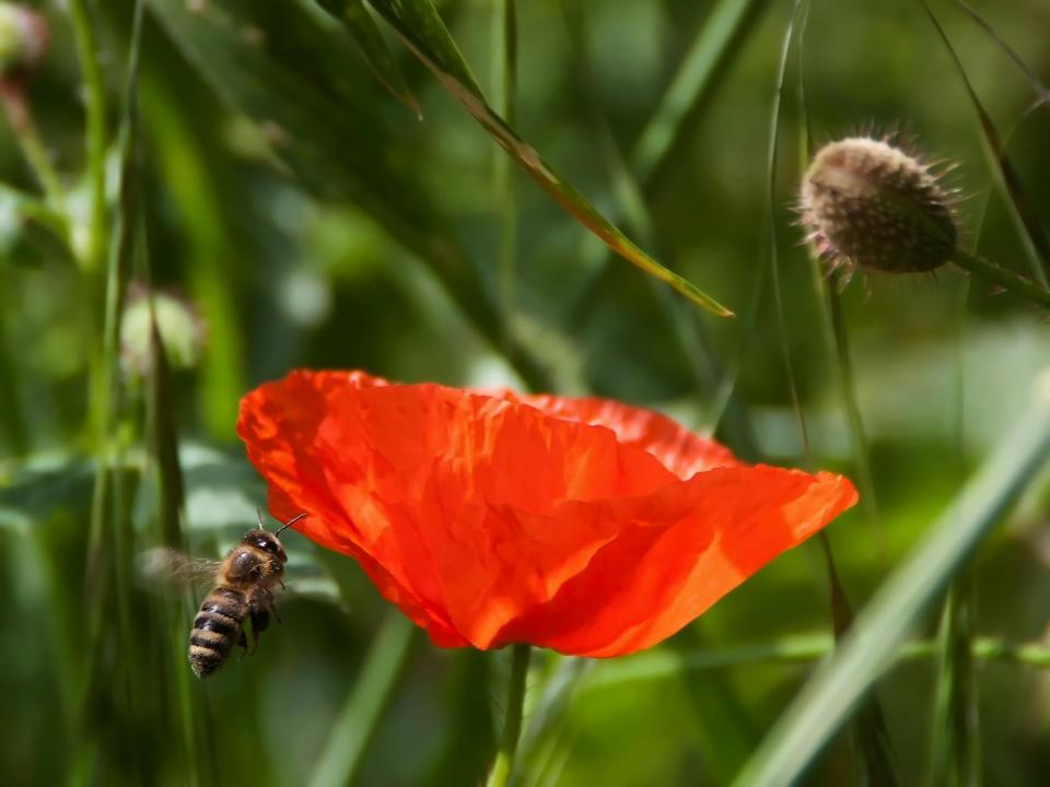 flower, red, petal, bloom, garden, plant, nature, autumn, fall, bee, insect, pollen, leaves, green