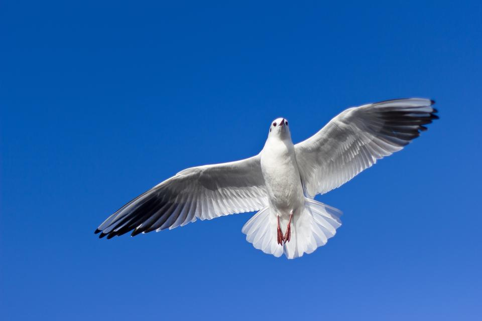 dove, pigeon, bird, animal, flying, blue, sky