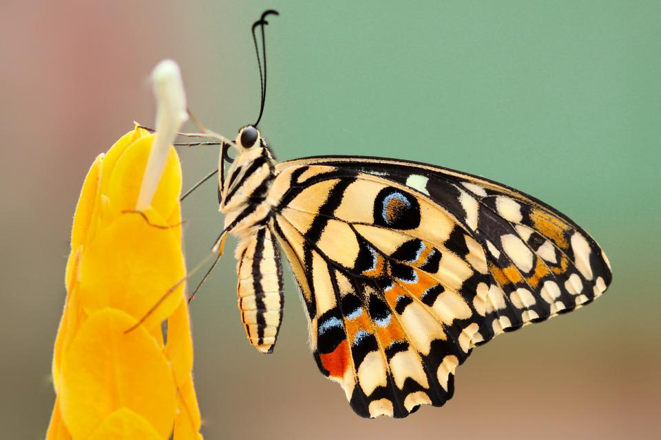 butterfly, moth, insect, macro, close up, nectar, pollen, flower, autumn, fall, yellow
