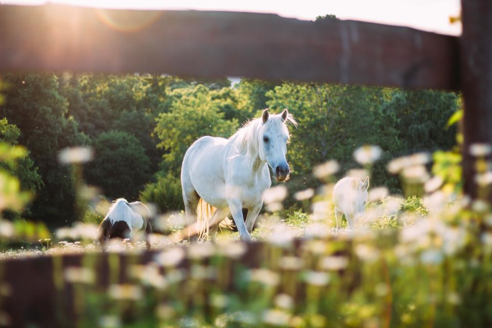 Riding the White Horse in Korea That Girl Cartier horse animal outdoor trees plant nature blur sunrise
