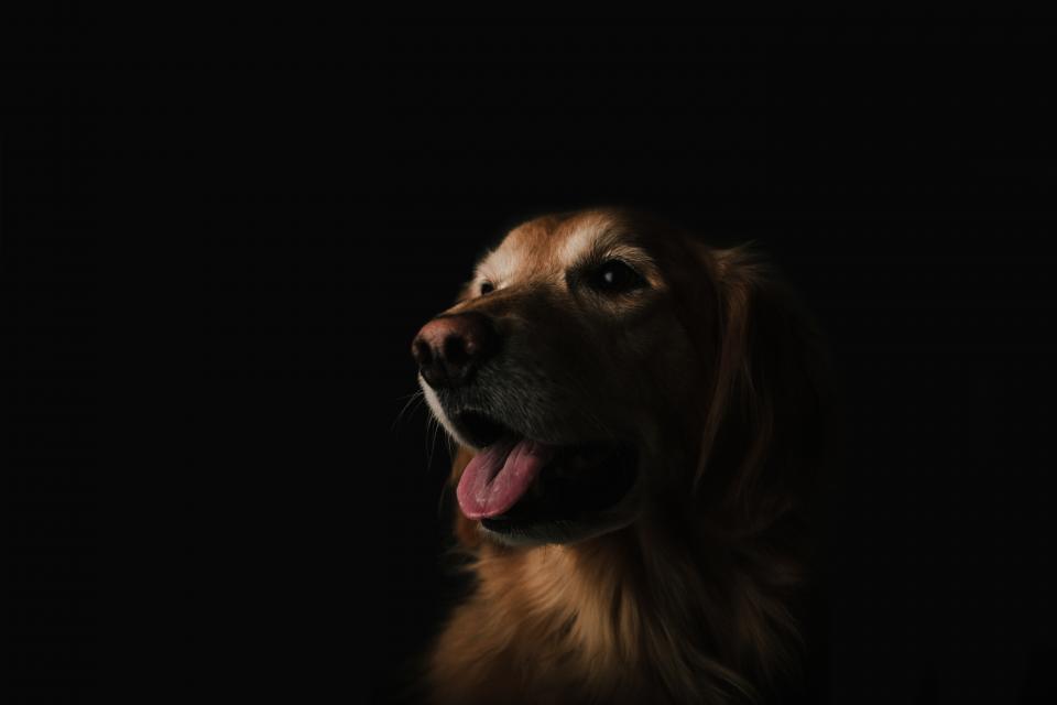 dog, animal, golden retriever, happy, dark, mammal