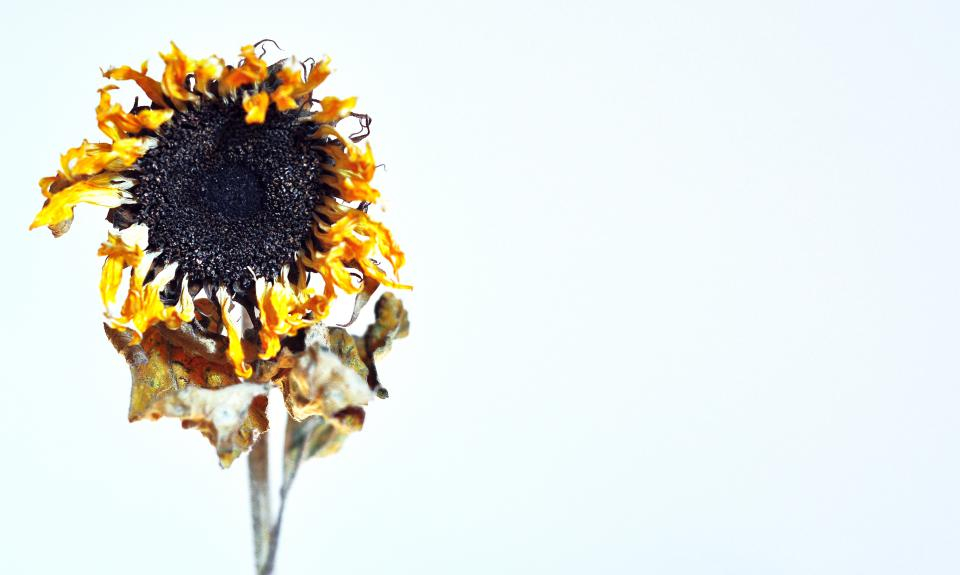 dry, drought, sunflower