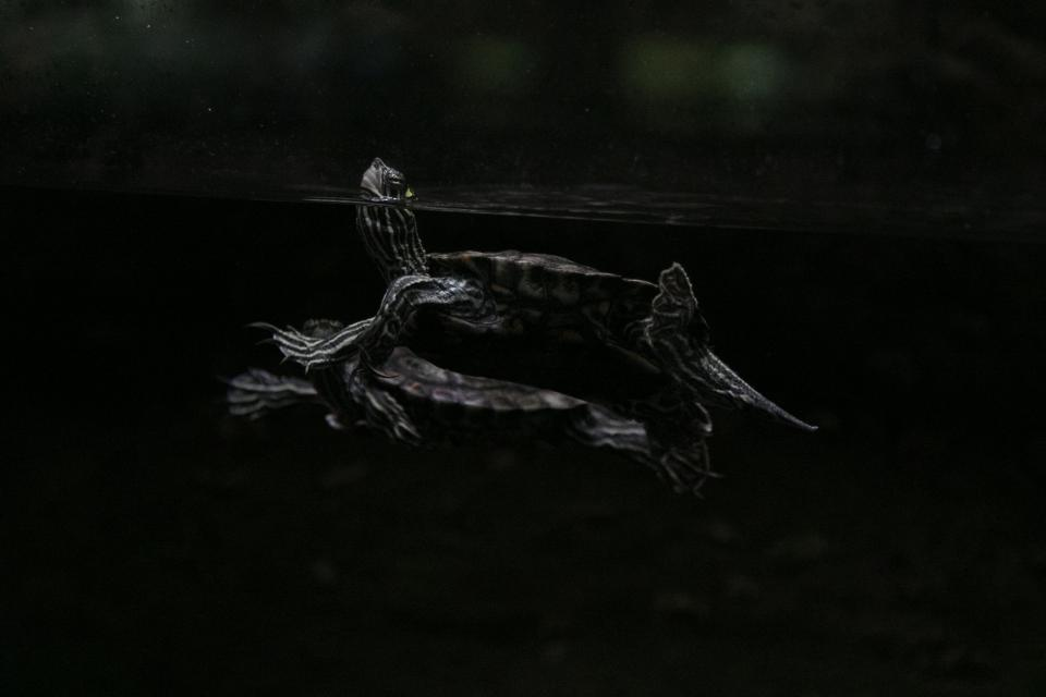dark, water, turtle, reptile, animal, underwater, nature