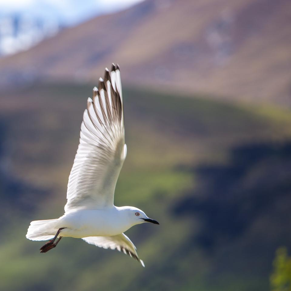 animal bird seagull flying feather land air white