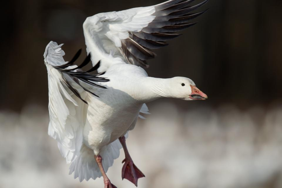 snow goose, bird, flying, animal, blur