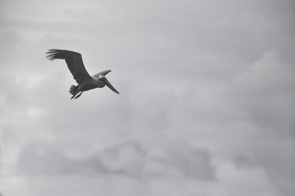 bird, flying, clouds, cloudy