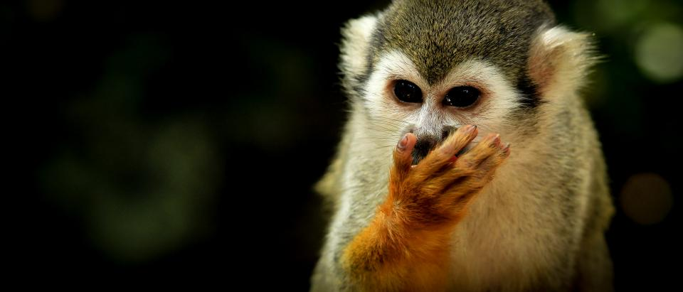 monkey animal wildlife squirrel