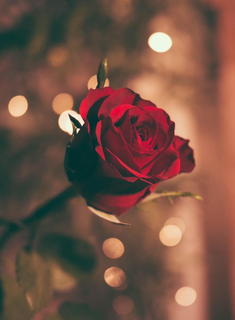flower, red, petal, bloom, garden, plant, nature, autumn, fall, bokeh, romance