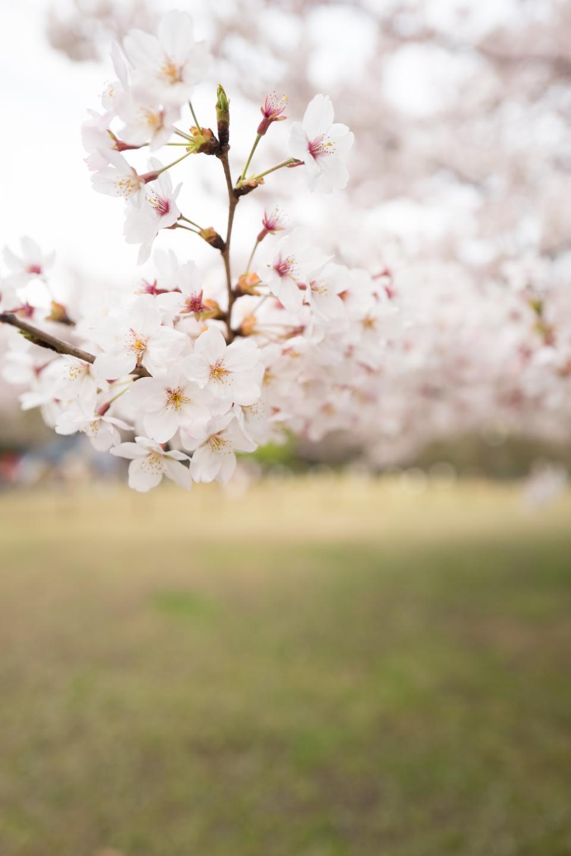 flower, white, petal, bloom, garden, plant, nature, autumn, fall, green, leaves, grass