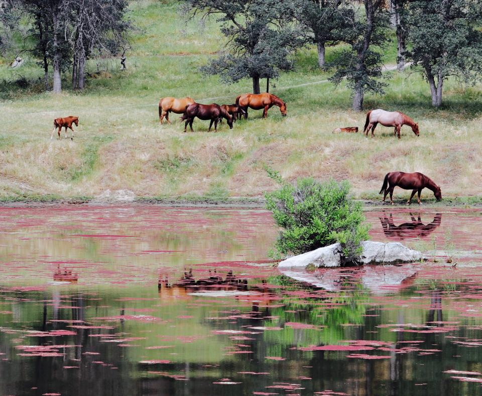 horse, animal, river, water, reflection, highland, green, grass, trees, plants, nature, outdoor, herd