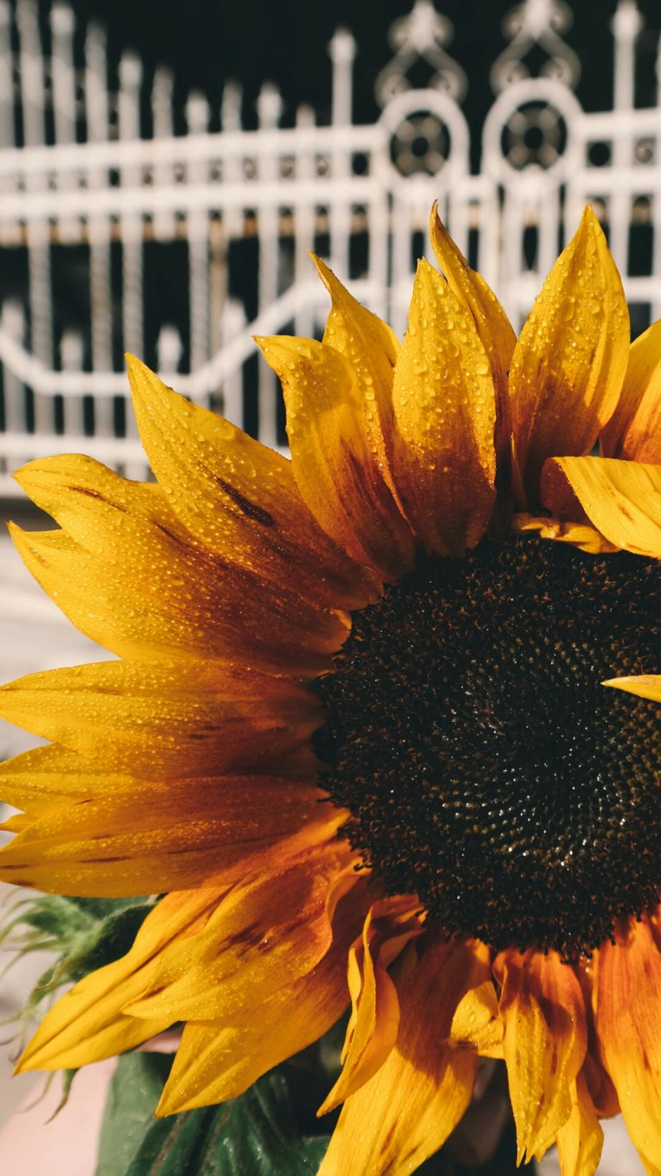 sunflower, petals, plant, nature, yellow, seeds, leaves, raindrops, outside
