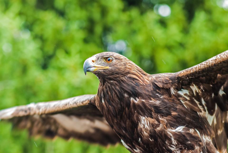 green, plants, blur, bokeh, nature, eagle, hawk, bird, animal, flying
