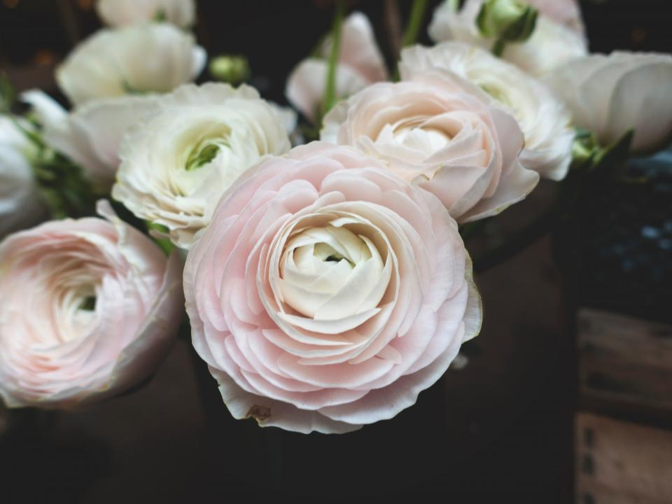 flower, white, petal, bloom, garden, plant, nature, autumn, fall, pink, rose