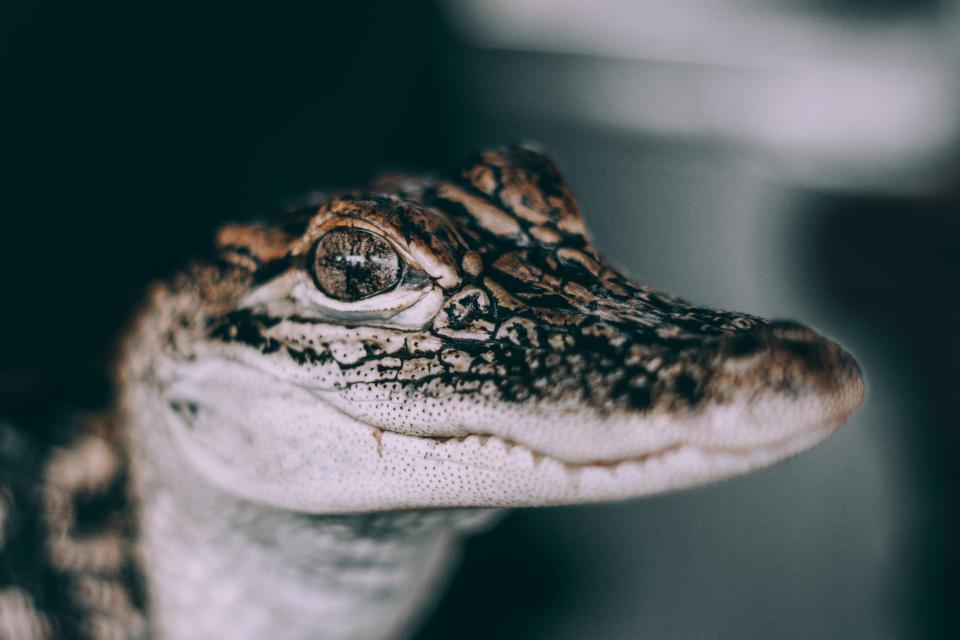 snake, wildlife, poison, eyes, amphibian, reptile