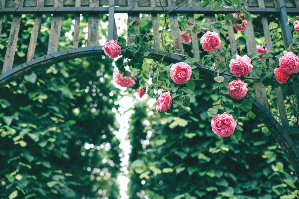 roses, pink, flower, petals, bloom, nature, green, plants, fence, steel, gate, bokeh