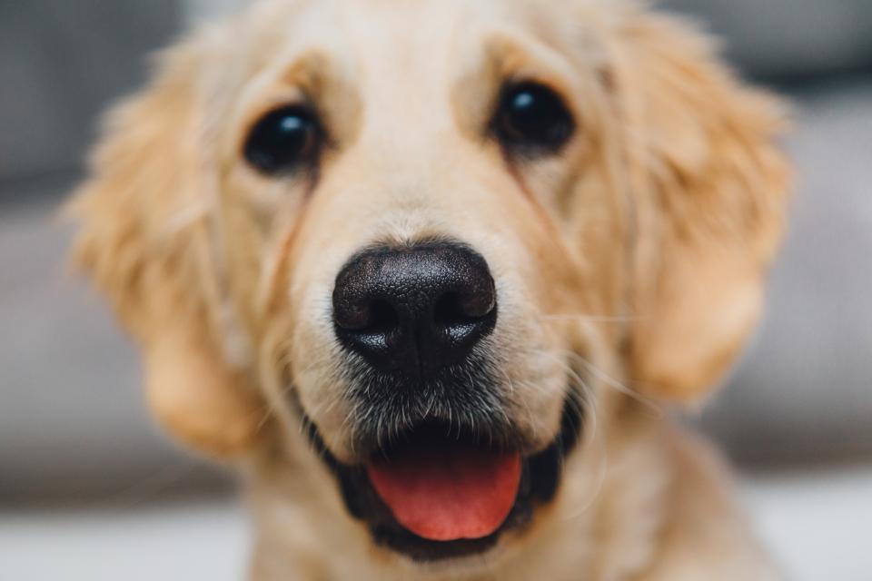 golden retreiver, dog, pet, animals, nose, tongue