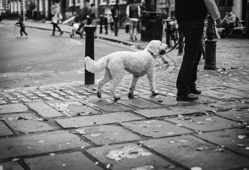 dog, pet, animal, people, walking, man, street, park, black and white