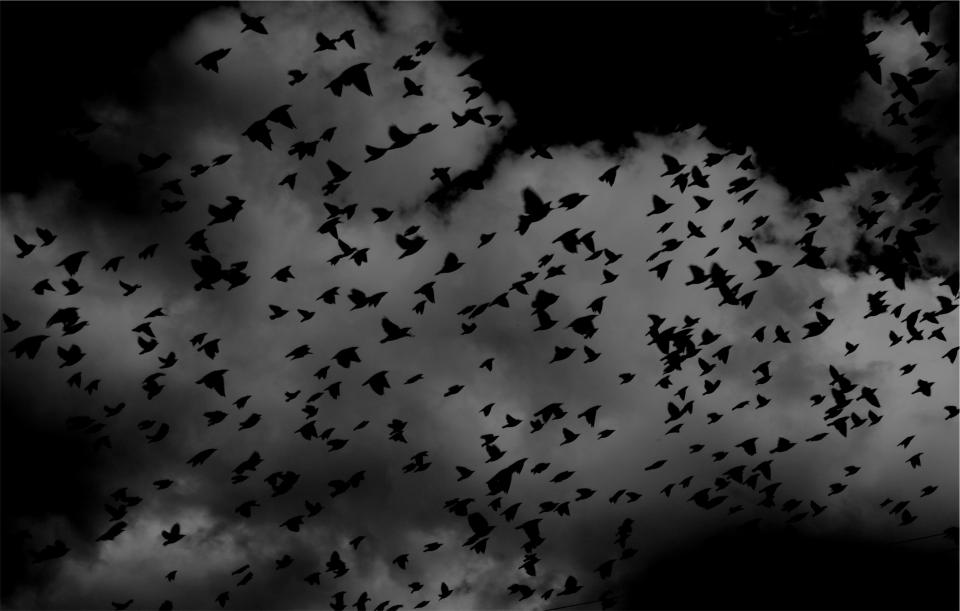 birds flock wings flying sky clouds black and white