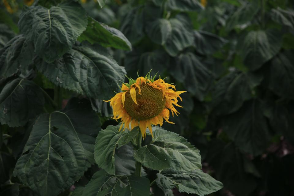sunflower, yellow, petal, field, farm, garden, nature, plant, green, leaf, outdoor