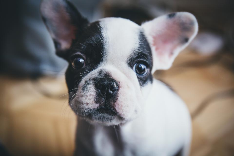 dog, puppy, pet, animals