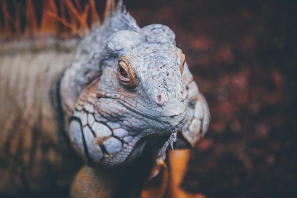 lizard, reptile, blue, chameleon, tree, branch, animal