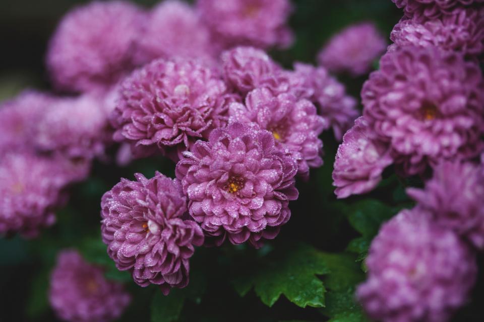 purple lavender flower bloom blossom garden field plant nature blur